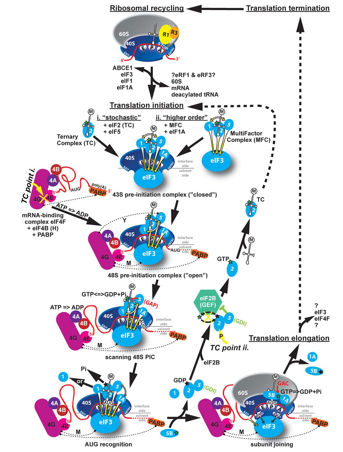 Eukaryotic Small Ribosome Subunit